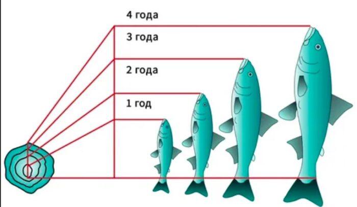как определить возраст рыбы по чешуе