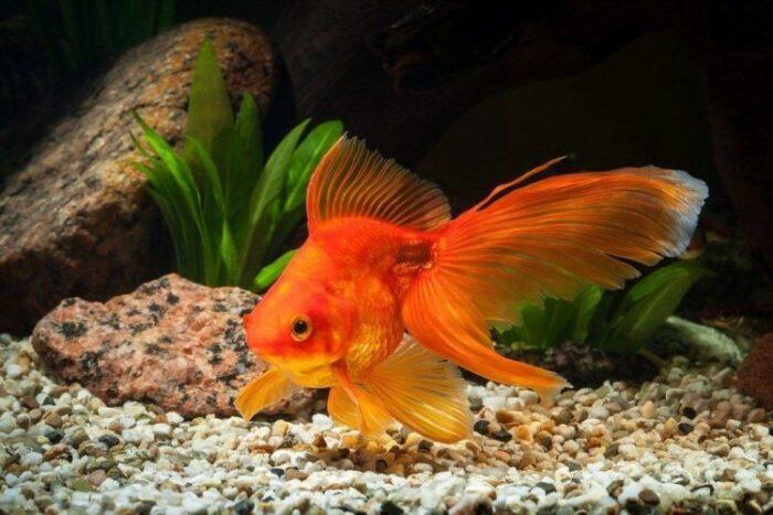 ужин из золотой рыбки обойдется дорого