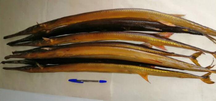 Необычная рыба игла - описание и где обитает