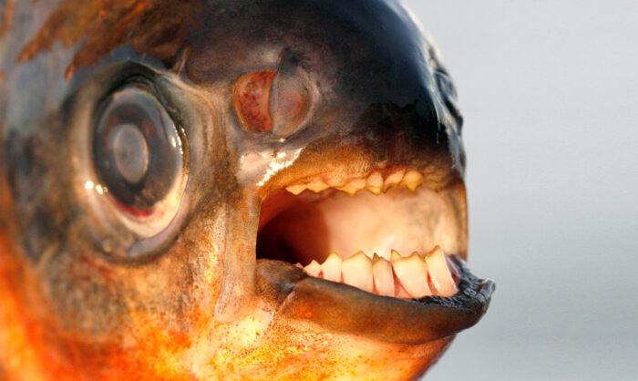 рыба паку имеет необычную челюсть
