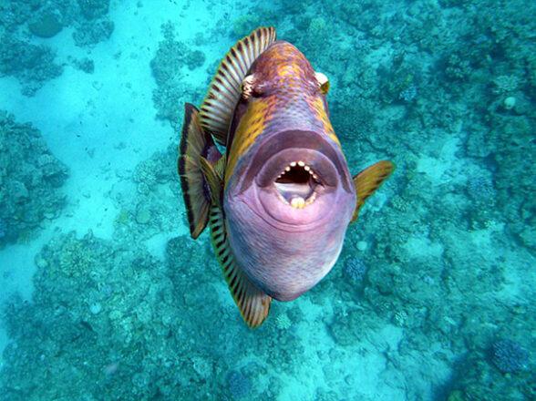 чем опасна рыба триггер для человека