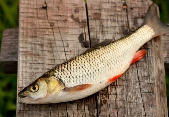 другое название рыбца - сырть