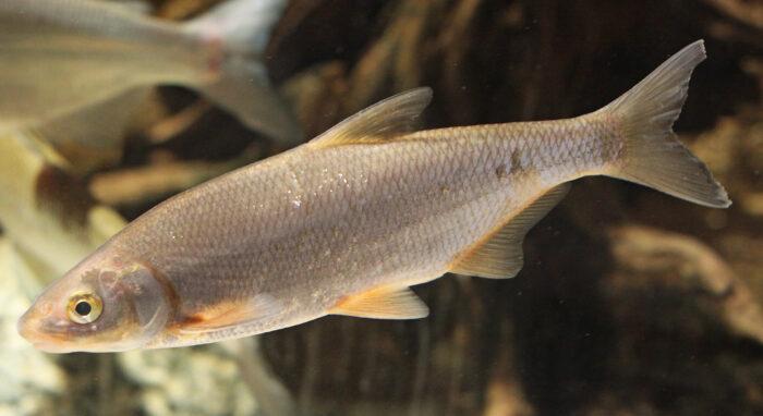 рыбец имеет неоднородную чешую