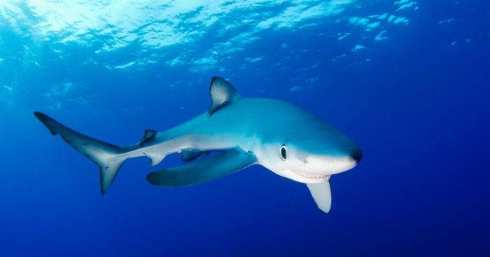 Синяя акула обитает в красном море