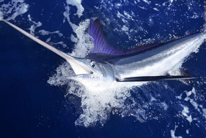 Средиземноморский копьеносец достигает 70-80 киллограм