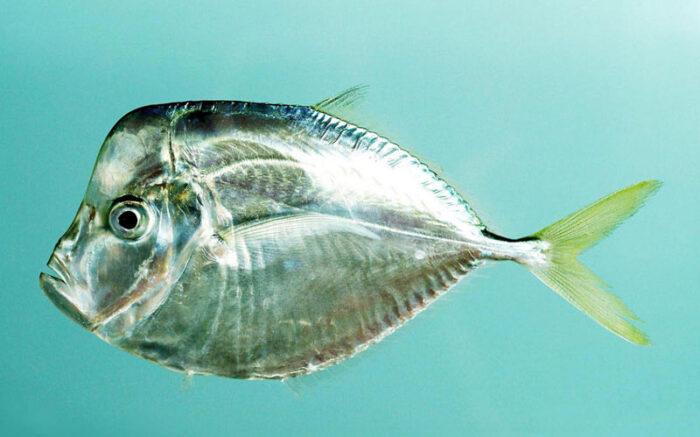 вомер или рыба луна