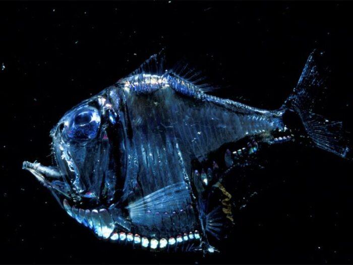 свечение рыбы-топорик