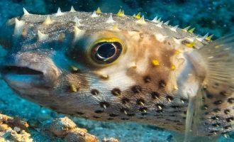 бурый скалозуб или опаснейшая рыба-фугу