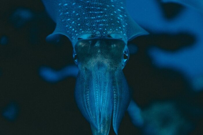 кальмар светится в воде