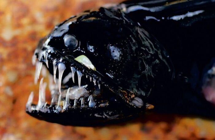 гадюка имеет огромные зубы