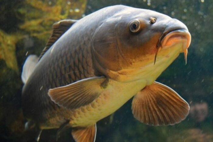 название рыбы - вот откуда фамилия Карпов