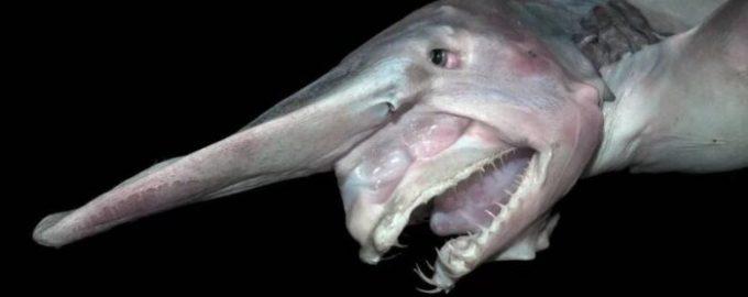 особенности внешнего вида акулы-гоблин