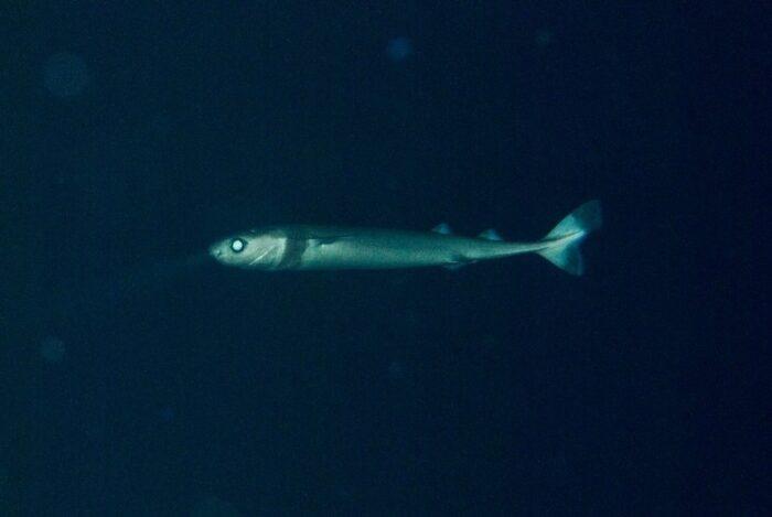 опасная бразильская акула светится в темноте