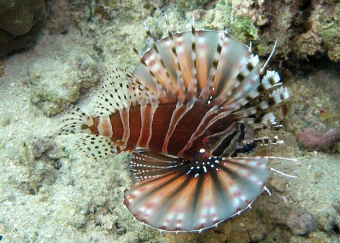 полосатая рыба-зебра