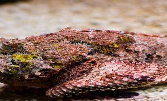 ядовитая рыба обитающая на морском дне