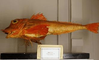 крупный морской петух