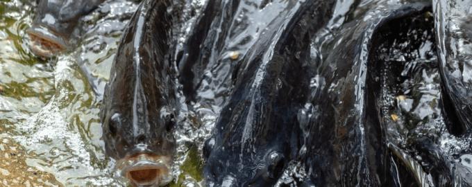 множество тилапий в водоеме