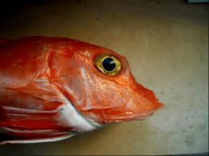 необыкновенная рыба тригла или морской петух