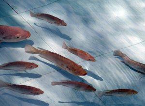 промышленное выращивание рыбы тилапии