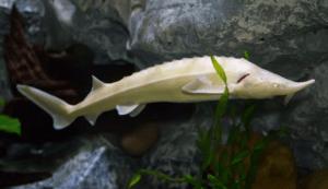 рыба белуга с белой кожицей