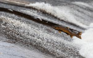 лосось в открытом водоеме