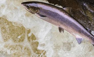 лосось прыгает в водоеме