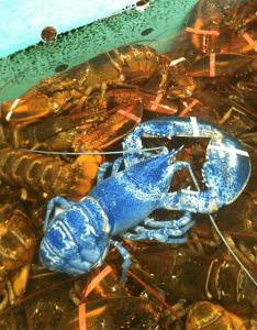голубой омар на фоне омаров классического оттенка
