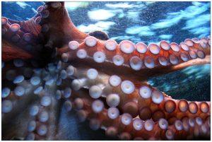 присоски на щупальцах осьминога