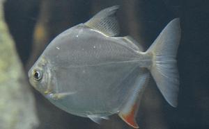 окрас плавников рыбы