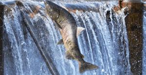 рыба сима в горной реке