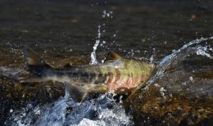 вишневого лосося можно видеть над поверхностью воды