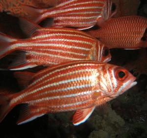 характерные полосы из чешуи рыбы