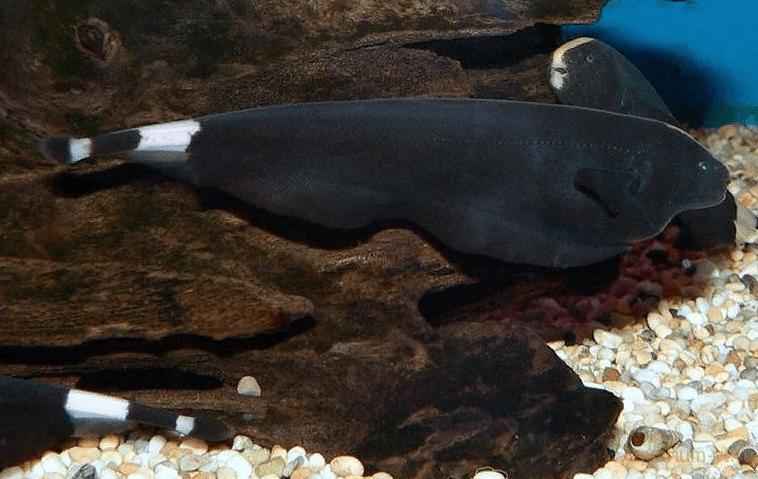 Как выглядит рыба нож
