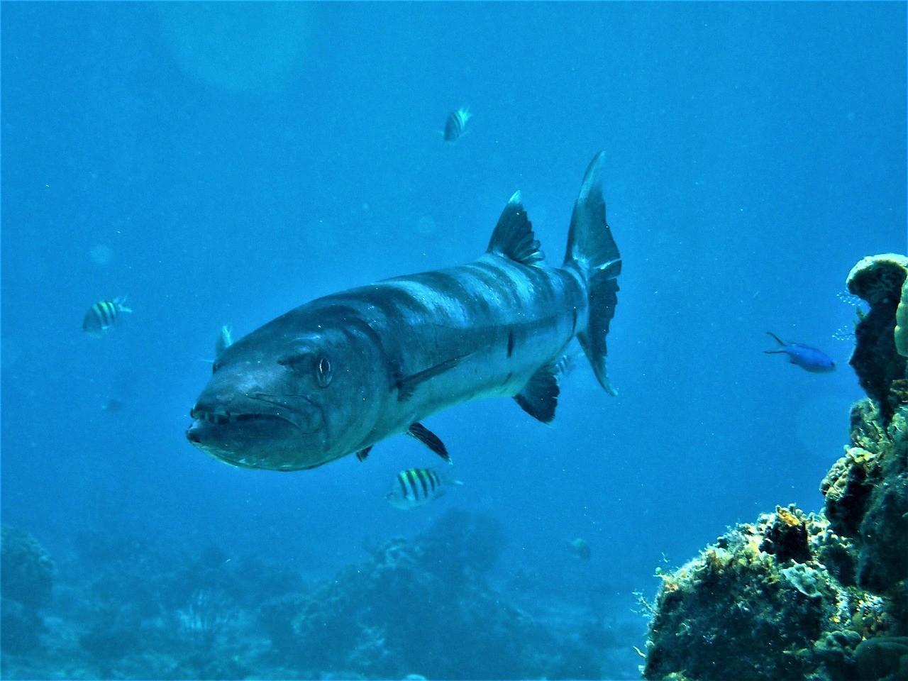 баракуда под водой