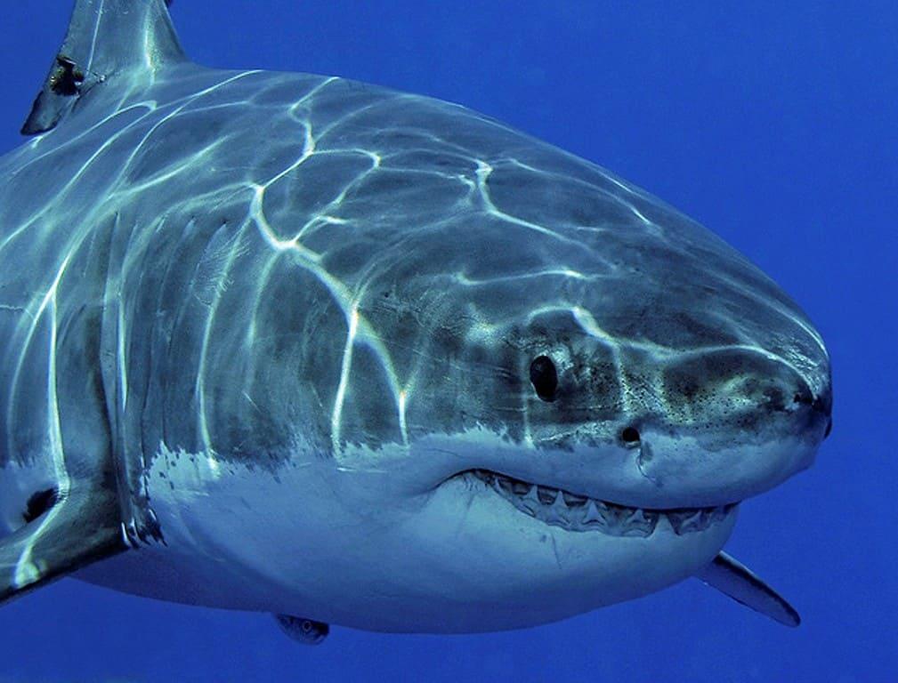 злой хищник в виде белой акулы