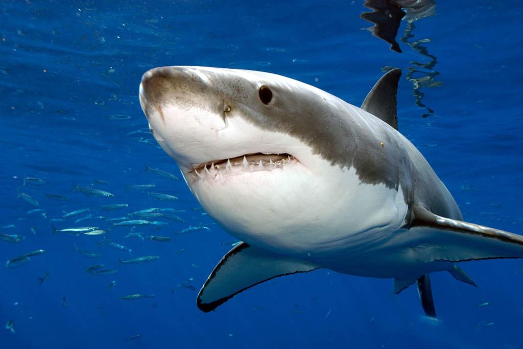 белая акула считается самым опасным хищником