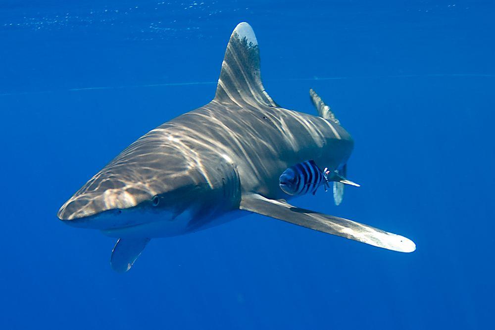 как выглядит длиннокрылая акула