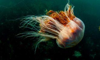 огромная медуза цианея