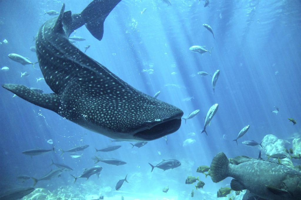 особенности строения китовой акулы