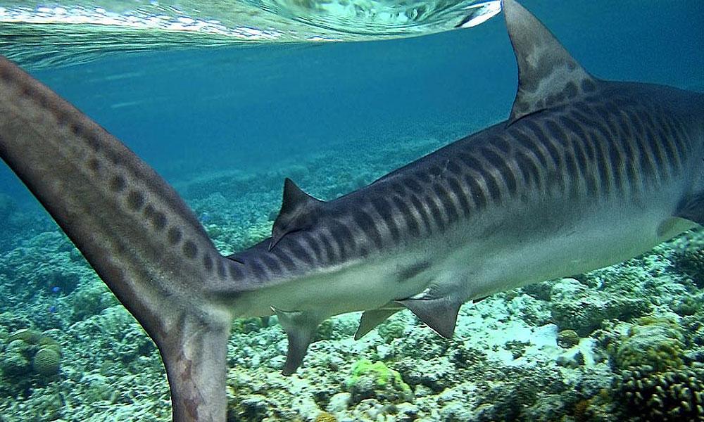 внешний вид тигровой акулы