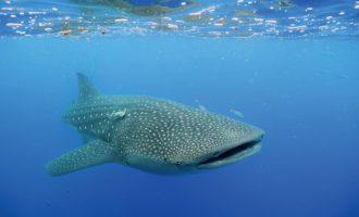 китовая акула не является грозным хищником