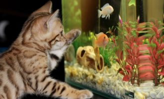 кот возле аквариума