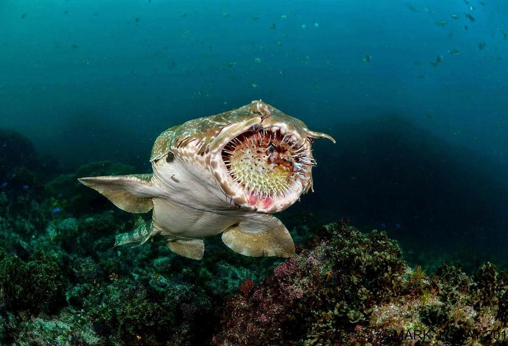 как выглядит ковровая акула