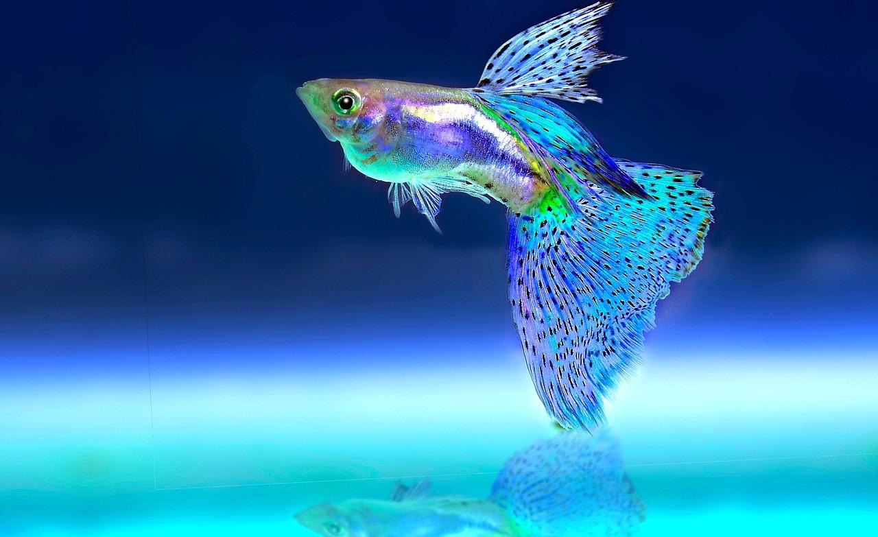 рыба с огромным хвостом