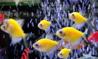 яркие тернеции в аквариуме