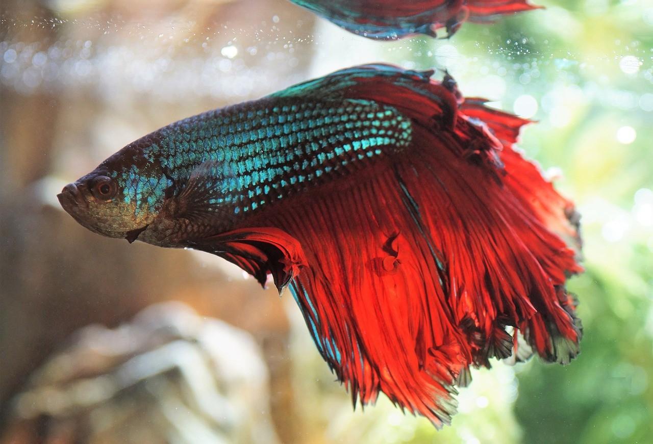 рыба петушок с пушистым хвостом