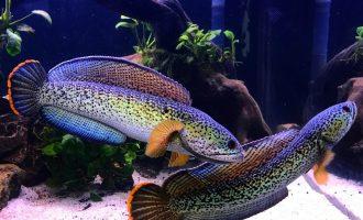 красивые и крпные аквариумные рыбки