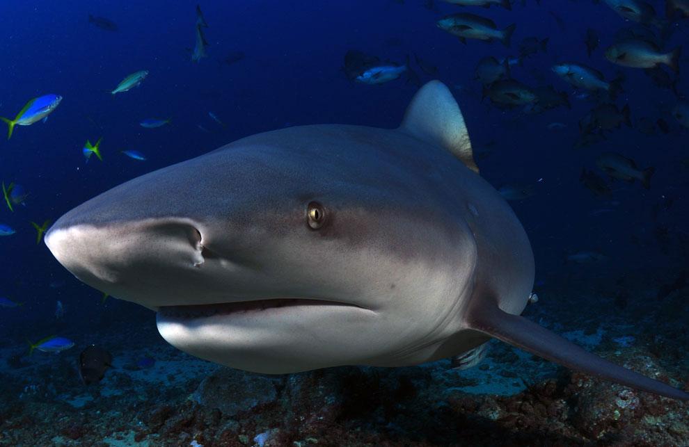 внешний вид тупорылой акулы