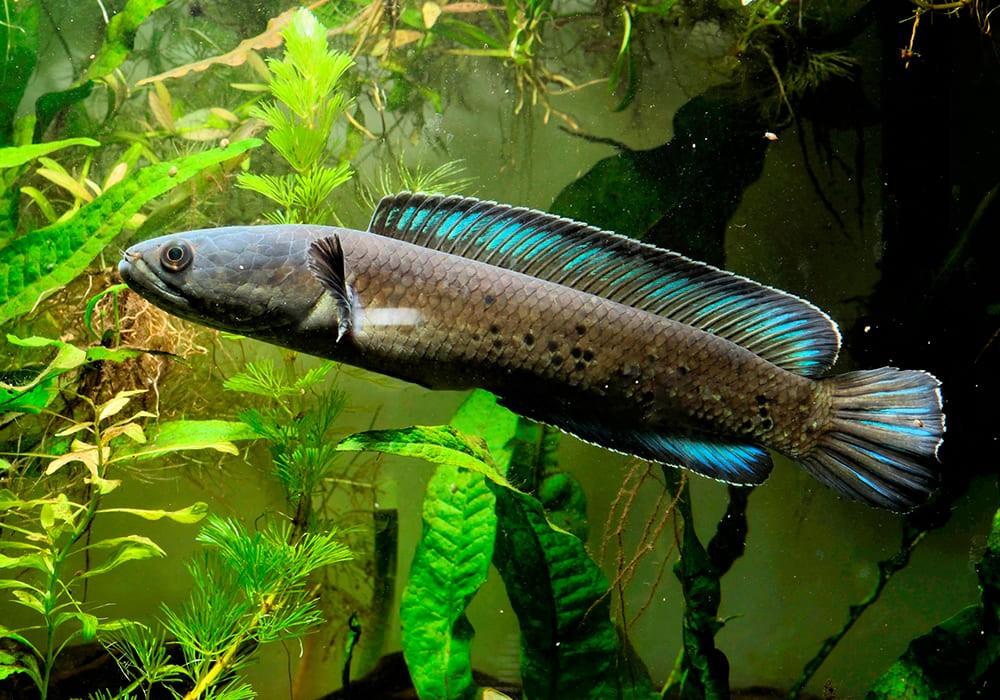 привлекательная рыба змееголов