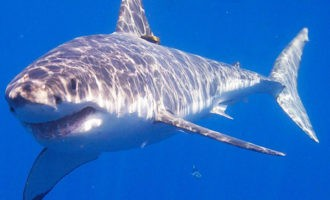 грозная акула